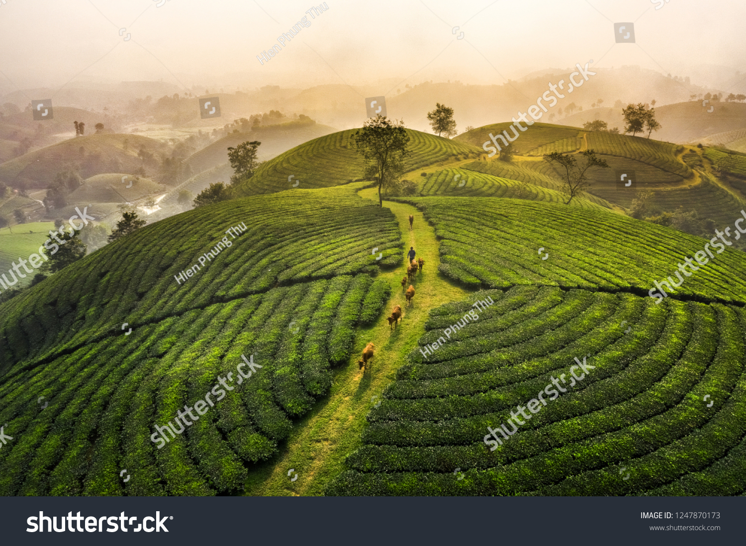 Aerial view of Long Coc tea hill, green landscape background, green leaf. Tan Son, Phu Tho, Viet Nam #1247870173