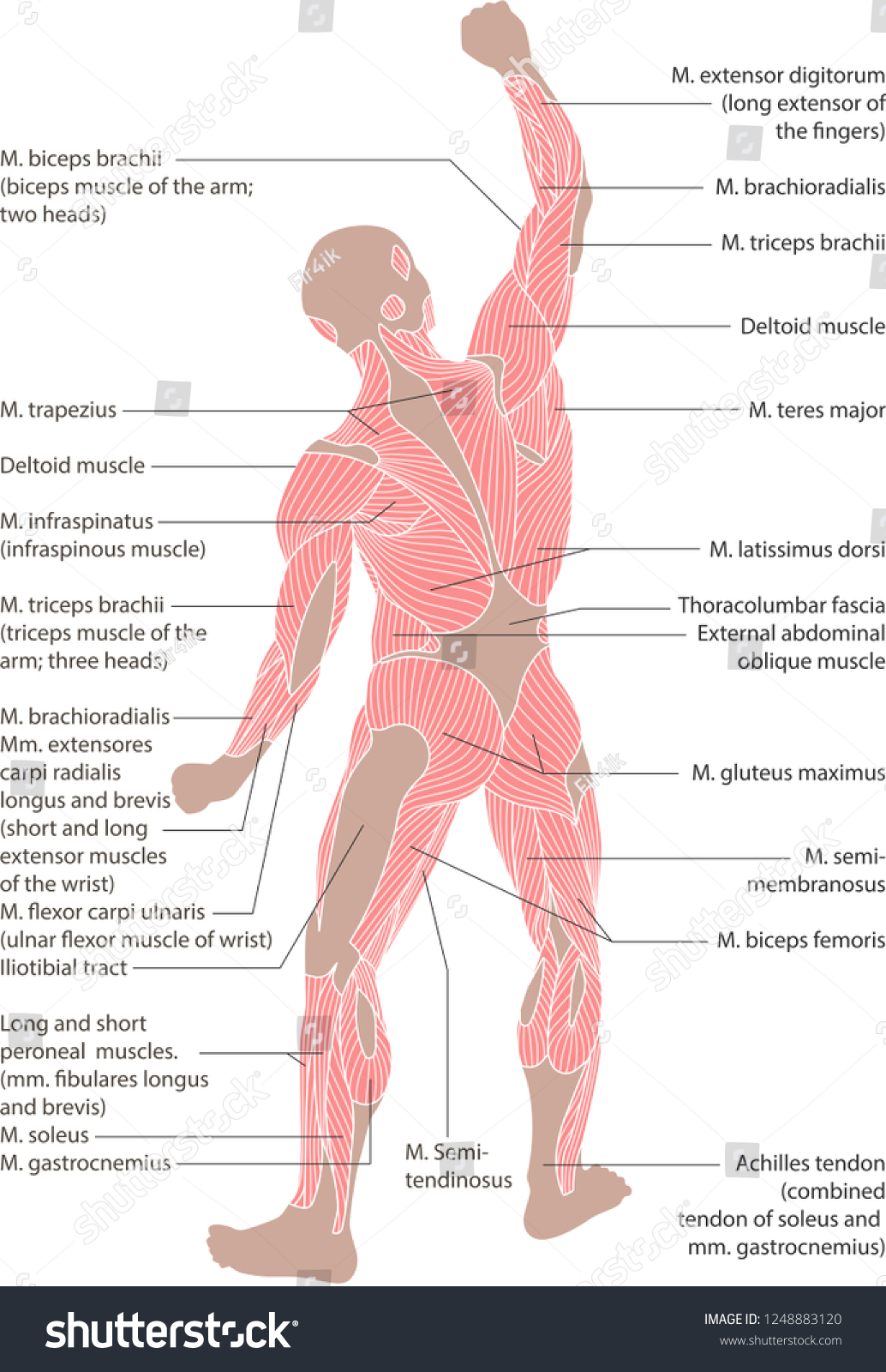 Human Muscular System Posterior View Didactic Stock Illustration