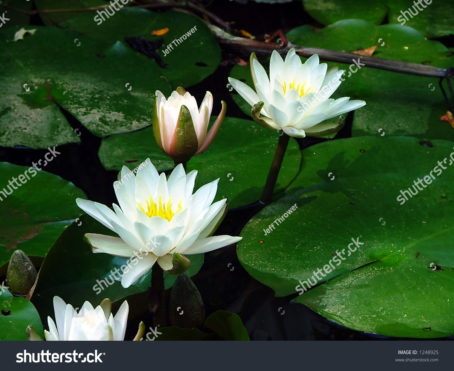Lily pad flowers stock photo edit now 1248925 shutterstock lily pad flowers izmirmasajfo