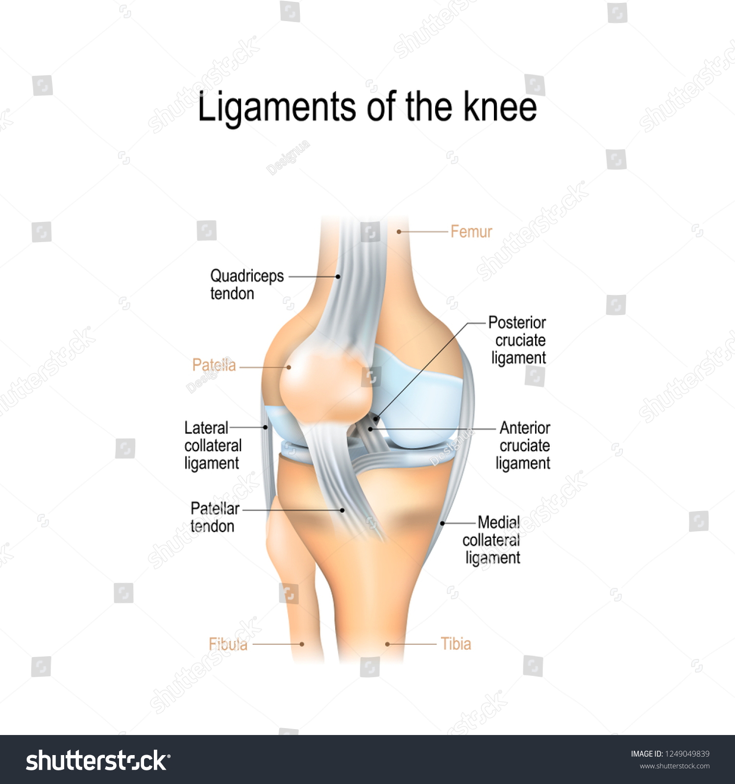 Ligaments Knee Anterior Posterior Cruciate Ligaments Stock