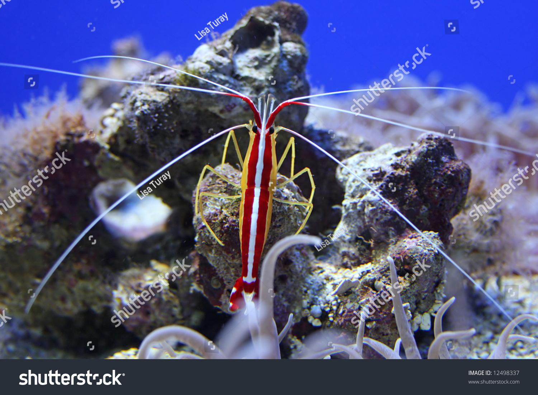 Colorful Shrimp Taken Aquarium Through Glass Stock Photo (100% Legal ...