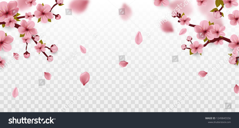 Blossom. Cherry blossom. Isolated on white. Spring sakura flowers. Vector