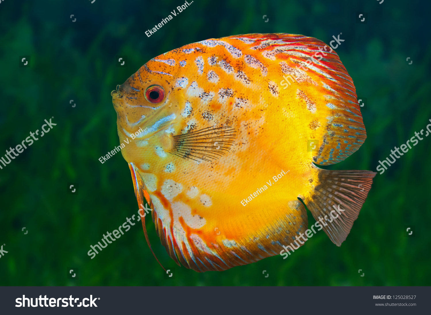 Freshwater fish amazon - Yellow Freshwater Fish Discus Native To The Amazon River In Aquarium