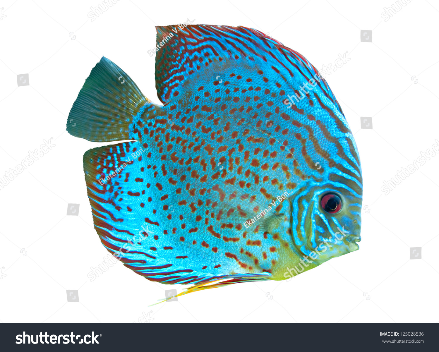 Freshwater fish amazon - Spotted Blue Discus Freshwater Fish Native To The Amazon River Isolated On White