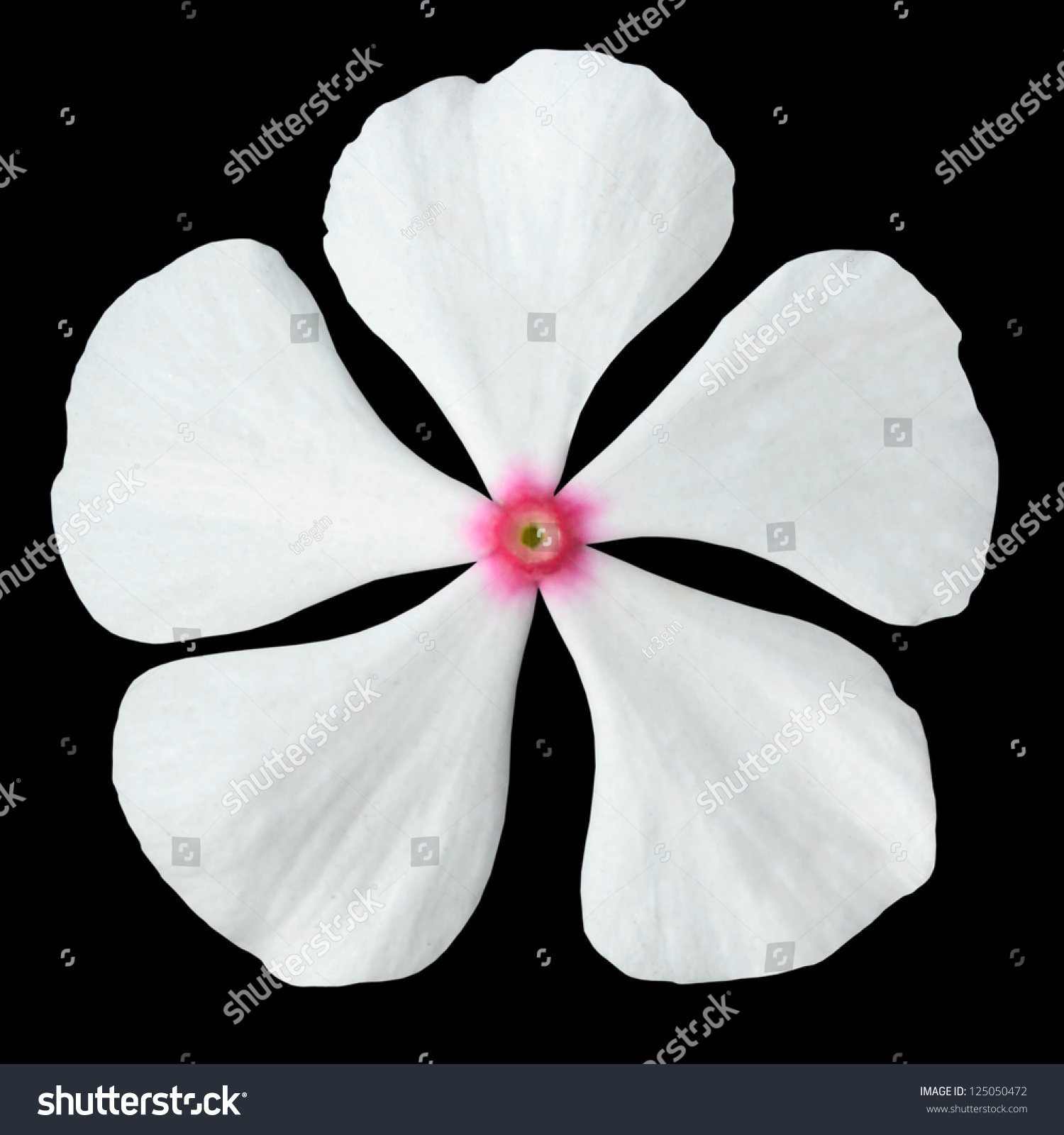 White Periwinkle Flower Pink Center Madagascar Stock Photo Edit Now