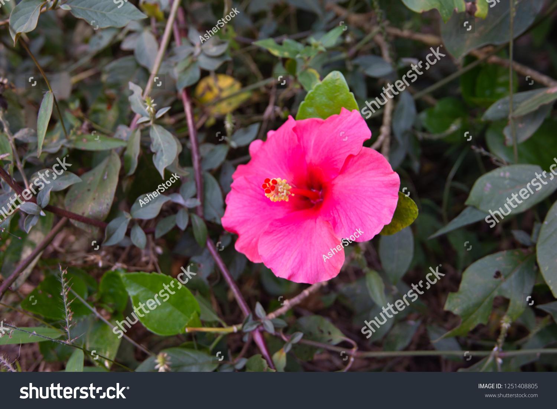 Shoe Flower Hibiscus Rosa Sinensis Linn Stock Photo Edit Now
