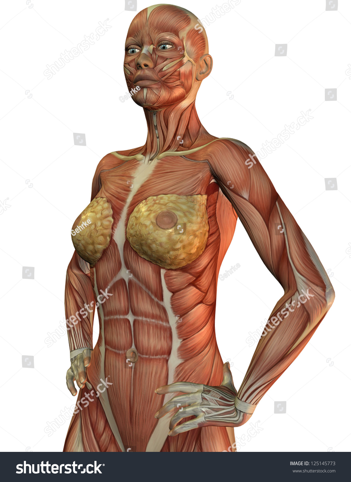 3 D Rendering Anatomy Muscles Woman Stock Illustration 125145773 ...