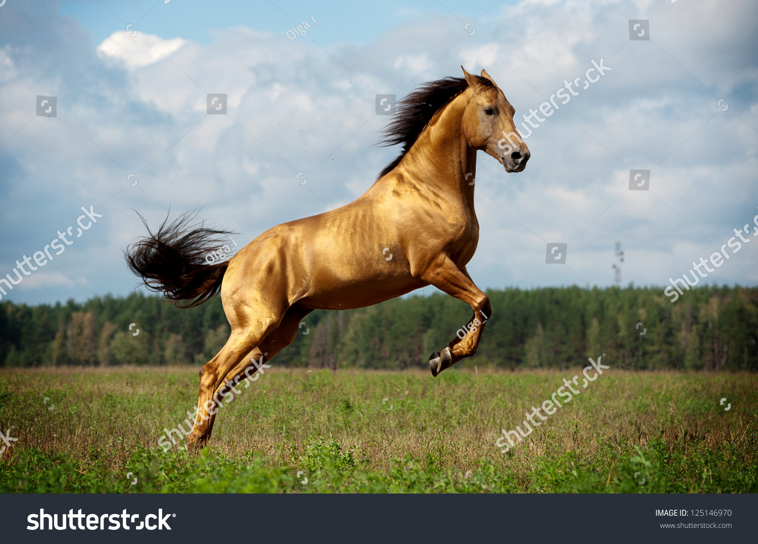 Golden Chestnut Horse Action Stock Photo Edit Now 125146970