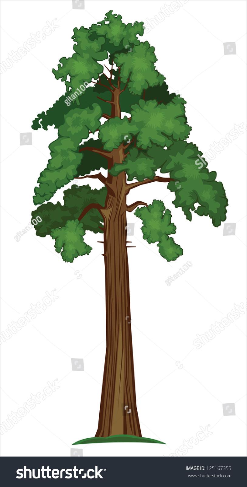 Vector Illustration Tree: Vector Illustration Big Sequoia Tree Stock Vector
