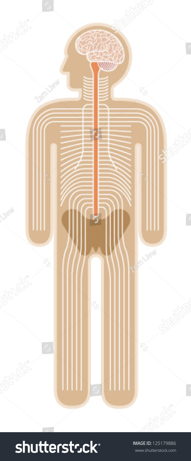 Diagram Human Body Nervous System Stock Vector Royalty Free