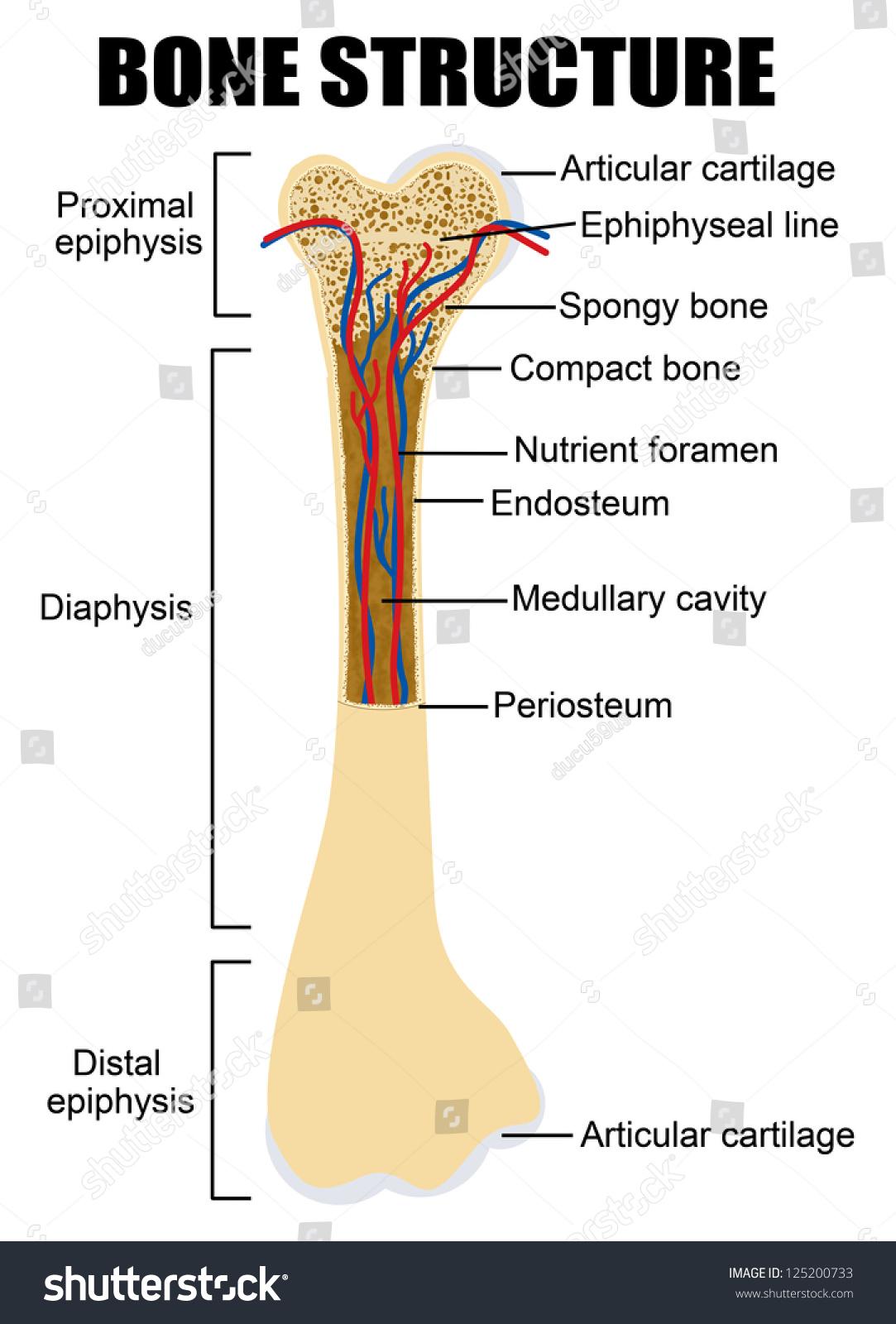 Diagram Human Bone Anatomy Useful Education Stock Vector