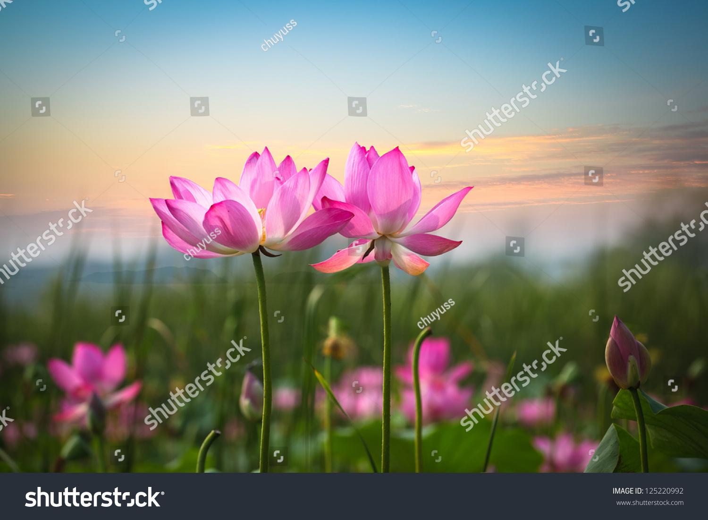 Beautiful lotus flower blooming sunset stock photo royalty free beautiful lotus flower in blooming at sunset izmirmasajfo Images