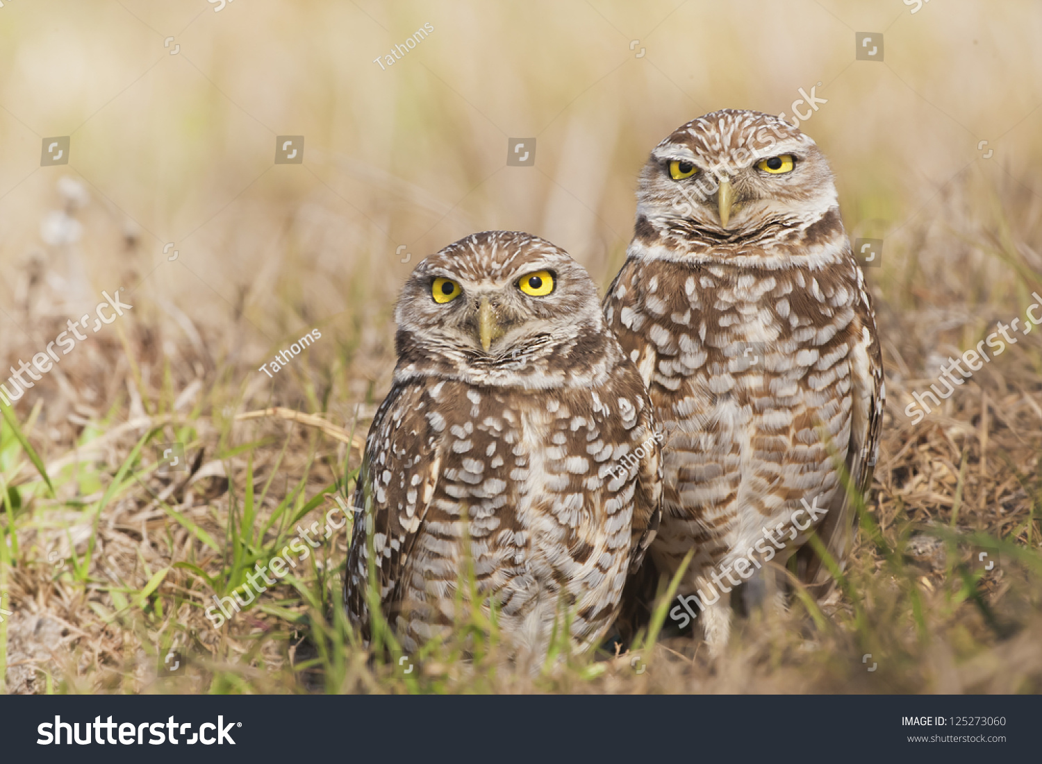 Cute couple. Burrowing Owl. Latin name - Athene cunicularia. Copy space on left.