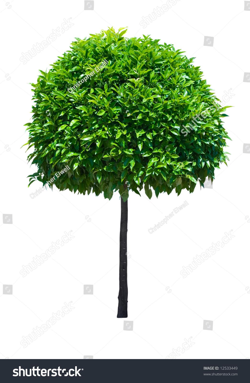 Ornamental evergreen trees - Ornamental Broad Leaf Evergreen Tree Isolated On White Background