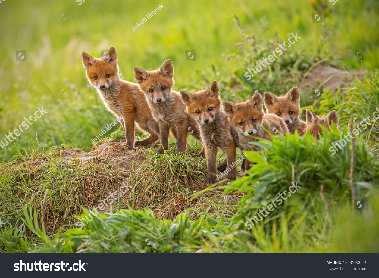 Red fox, vulpes vulpes, small young cubs near den curiously weatching around. Cute little wild predators in natural environment. Brotherhood of animlas in wilderness. #1253590069