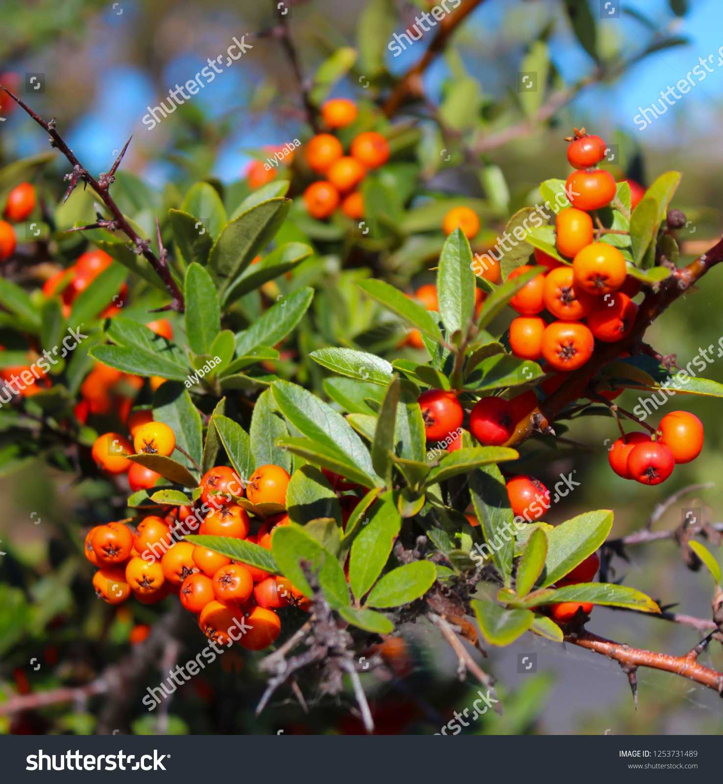 Bright Orange Berries Cotoneaster Flowering Plant Stock Photo