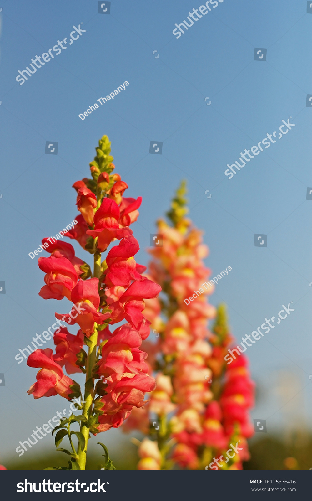 Orange Snapdragon Flower Under Blue Sky Stock Photo Edit Now