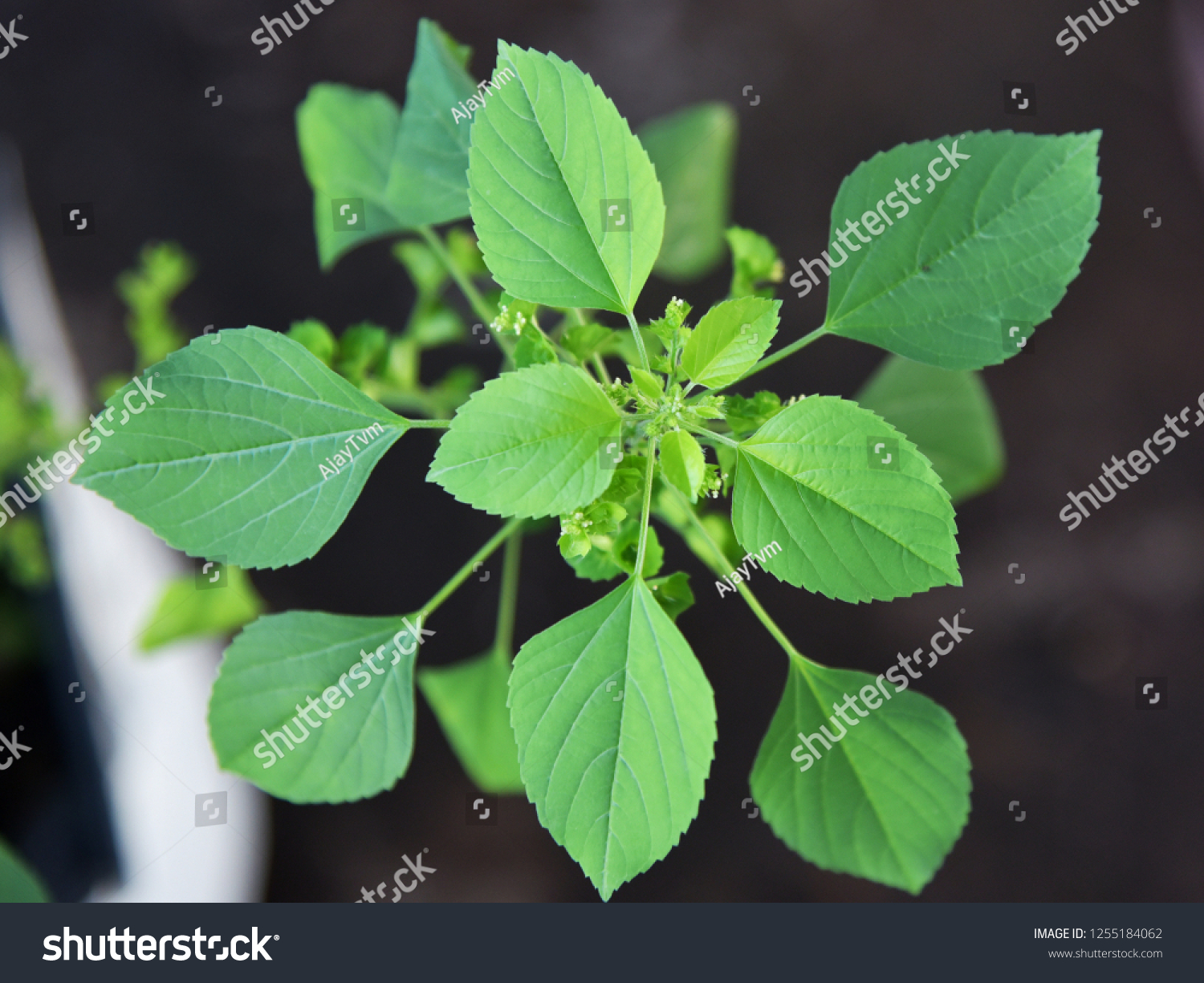 Top Down View Acalypha Indica Indian Stock Photo Edit Now
