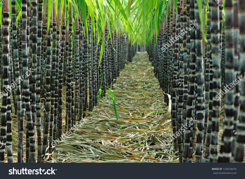 Sugarcane Field Stock Photo 125618474