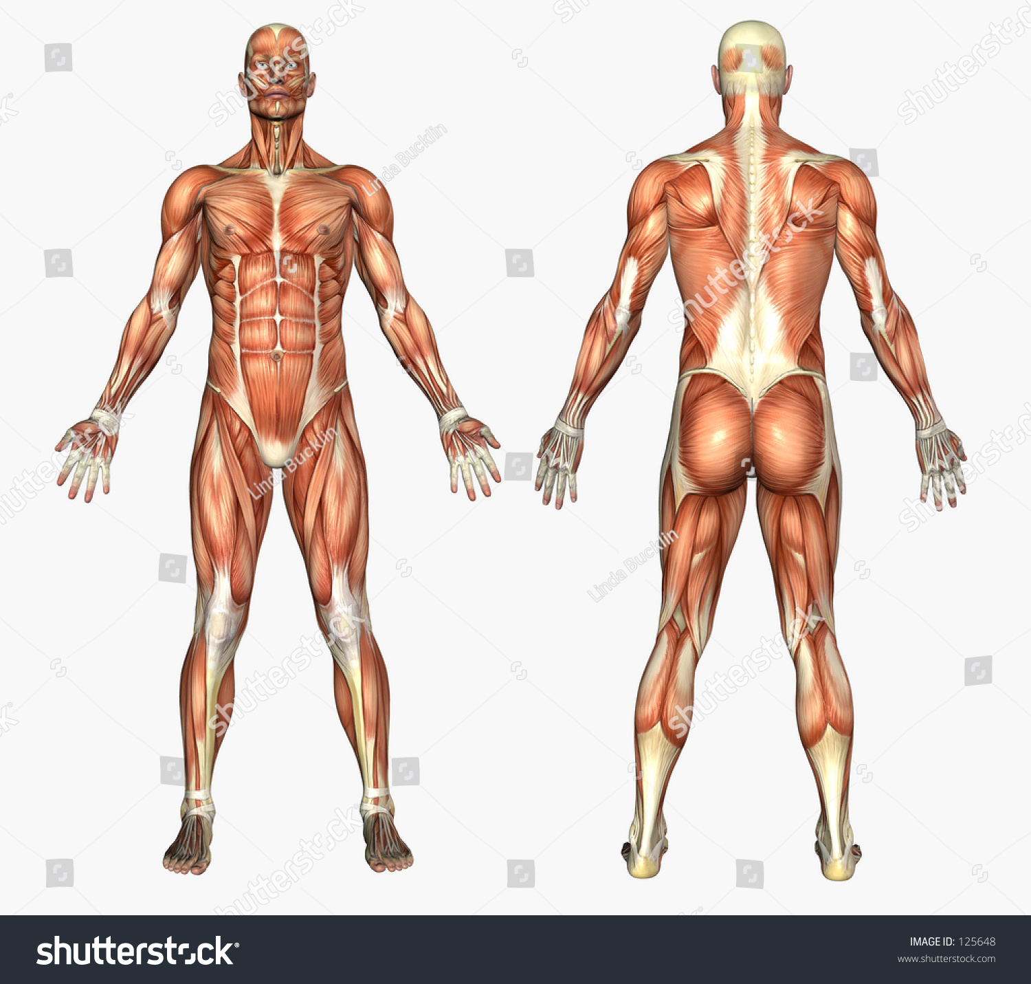 3 D Render Depicting Human Anatomy Muscles Stock Illustration 125648