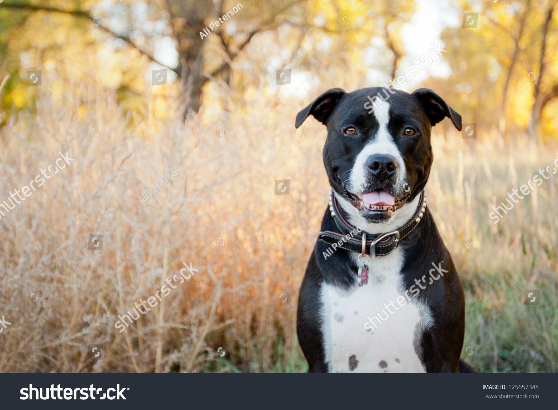 Black White American Pit Bull Terrier Stock Photo ...