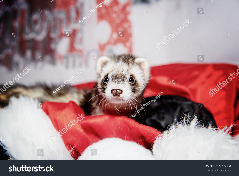 Christmas Ferret.Ferret Christmas Time Stock Photo Edit Now 1258602508