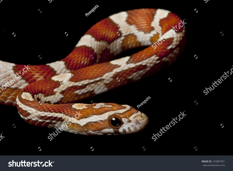 Crimson Corn Snake Elaphe Guttata Guttata Stock Photo (Edit