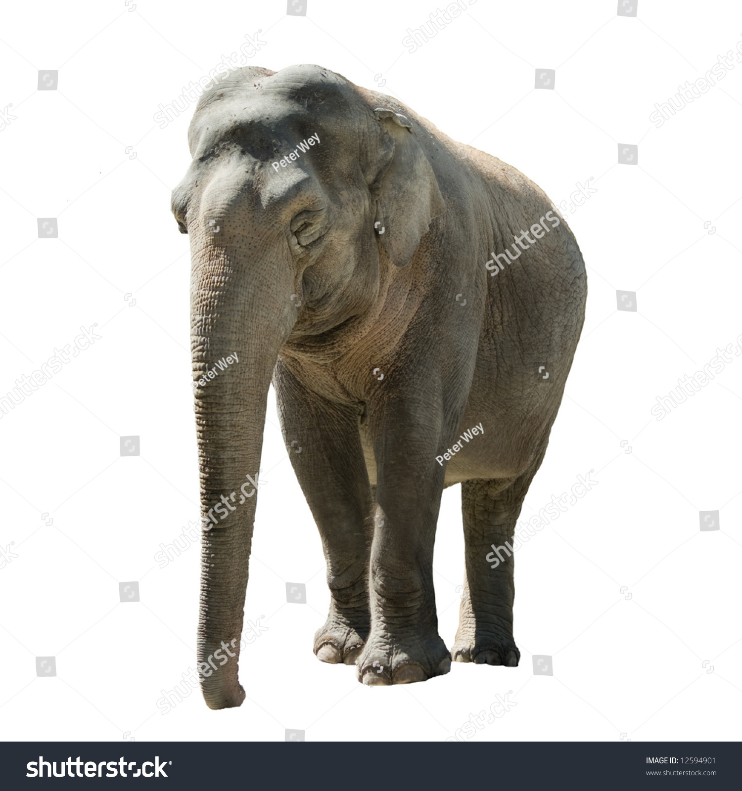 Front View Isolated Female Indian Elephant Stock ...
