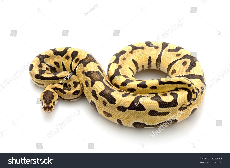 ball python logo by - photo #17