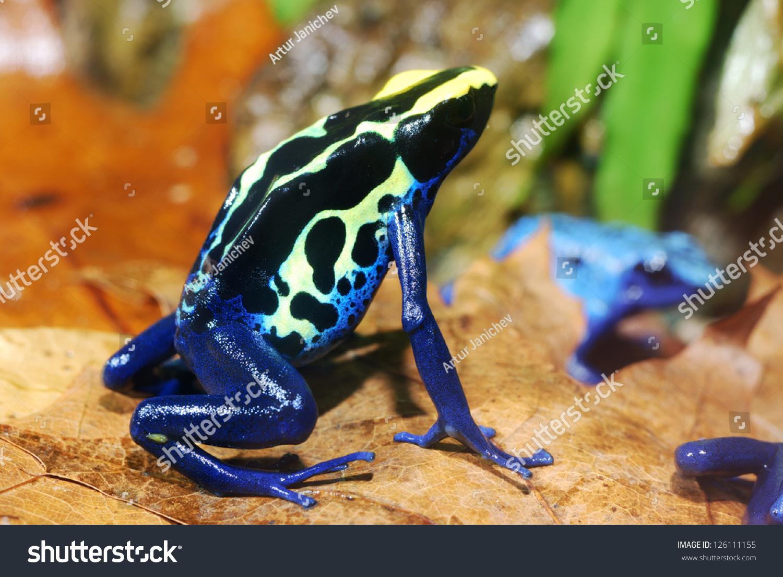 Colorful Blue Poison Dart Frog Terrarium Stock Photo Edit Now