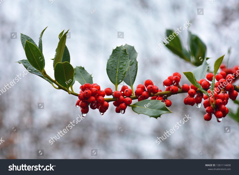 stock-photo-branch-of-aquifoliaceaev-ile