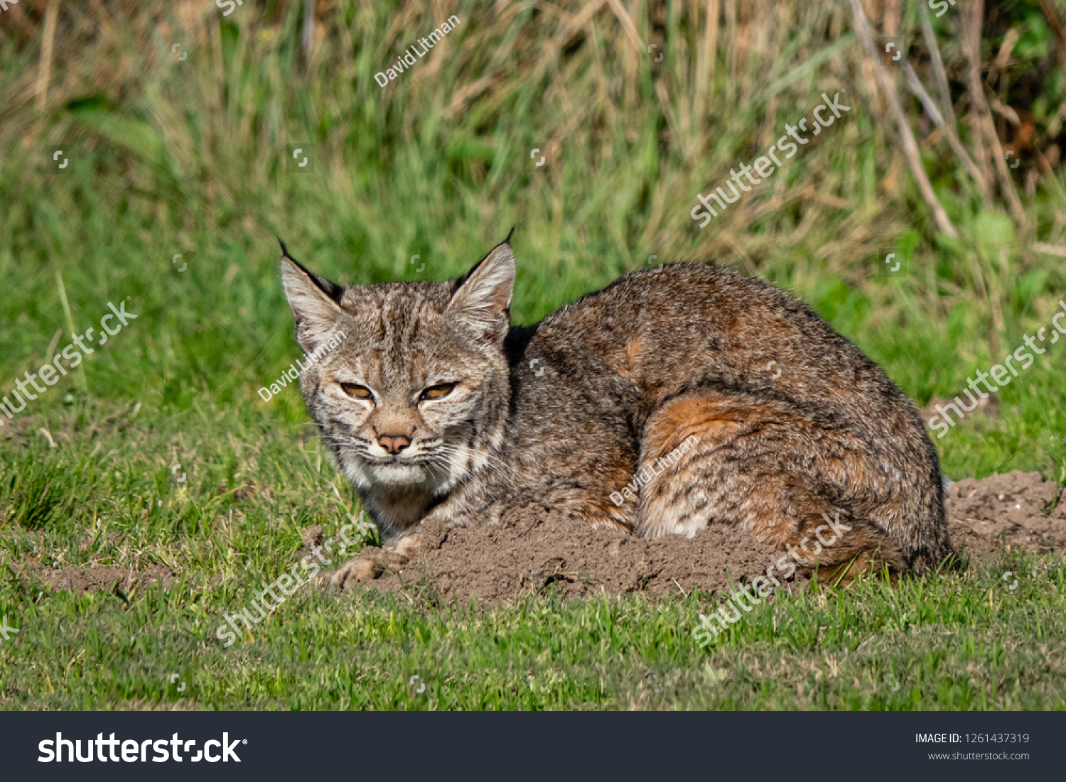 A wild Bobcat (Lynx rufus) hunts for its next meal near a gopher hole, at a local park in the hills of Monterey, California.