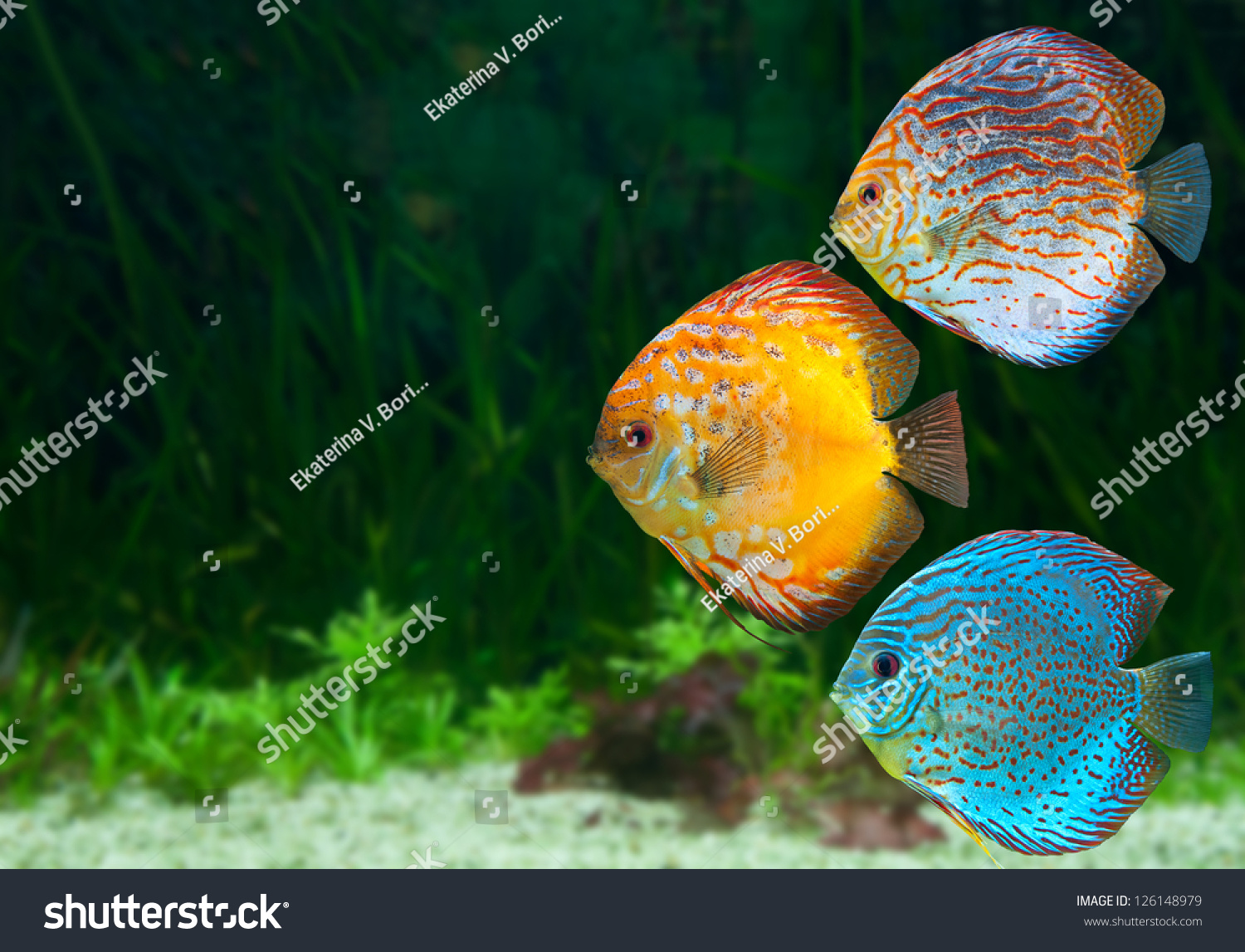 Freshwater fish amazon - Three Bright Discus Freshwater Fish Native To The Amazon River In Aquarium