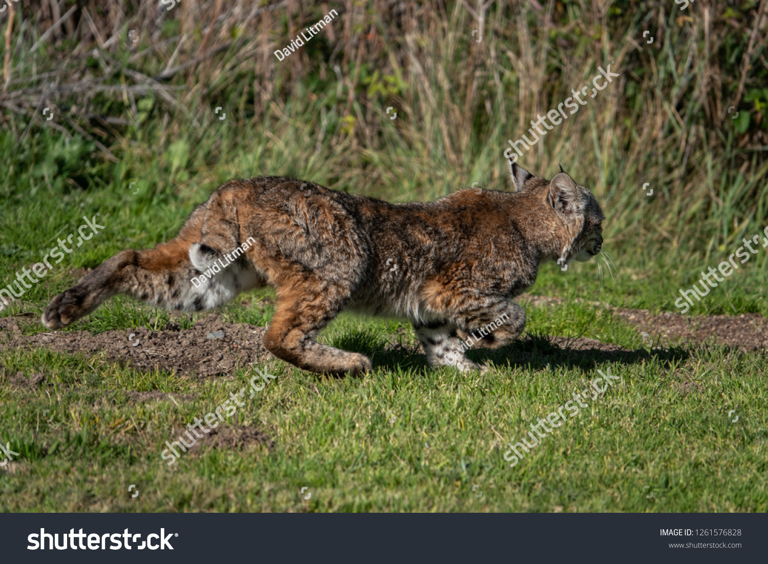 A wild Bobcat (Lynx rufus) retreats toward the brush as it runs across the lawn of a neighborhood park where it was hunting for gophers, in the hills of Monterey, California.