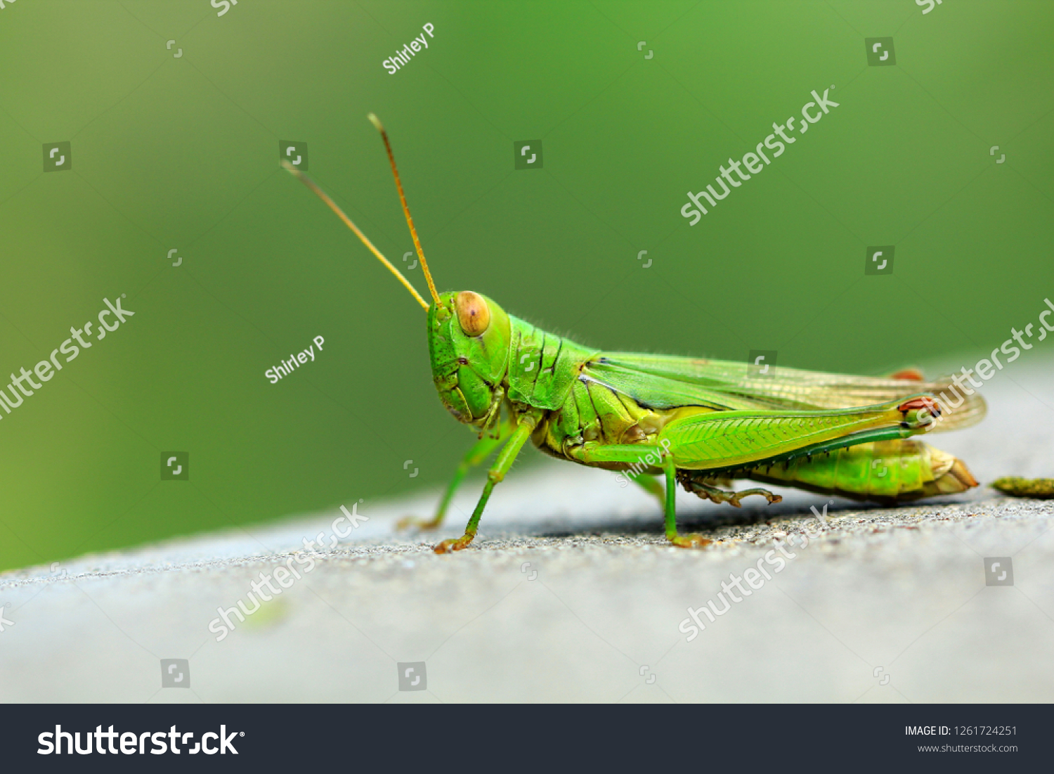 green grasshopper with big eyes #1261724251