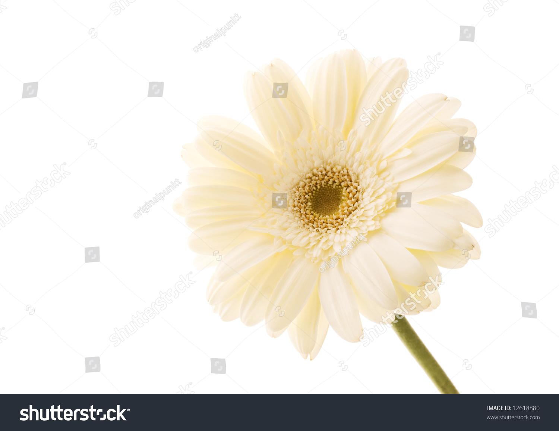 Beautiful White Gerbera Flower Stock Photo Edit Now 12618880