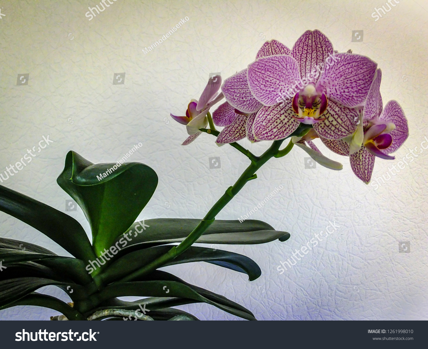 Very Beautiful Orchid Flower Phalaenopsis Known Stock Photo Edit