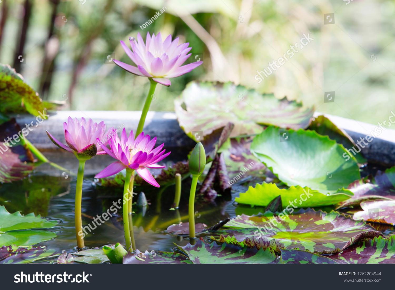 Lotus Flower Porn Stock Photo Edit Now 1262204944