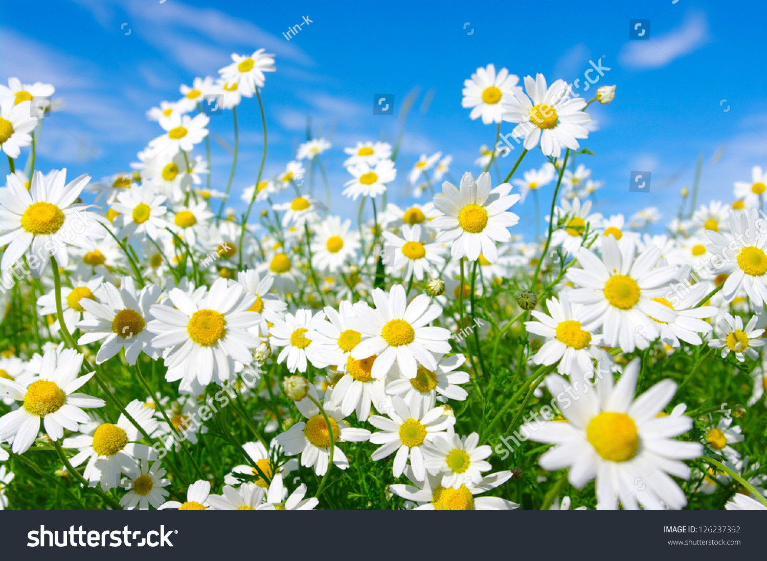 white daisies on blue sky background stock photo, Beautiful flower