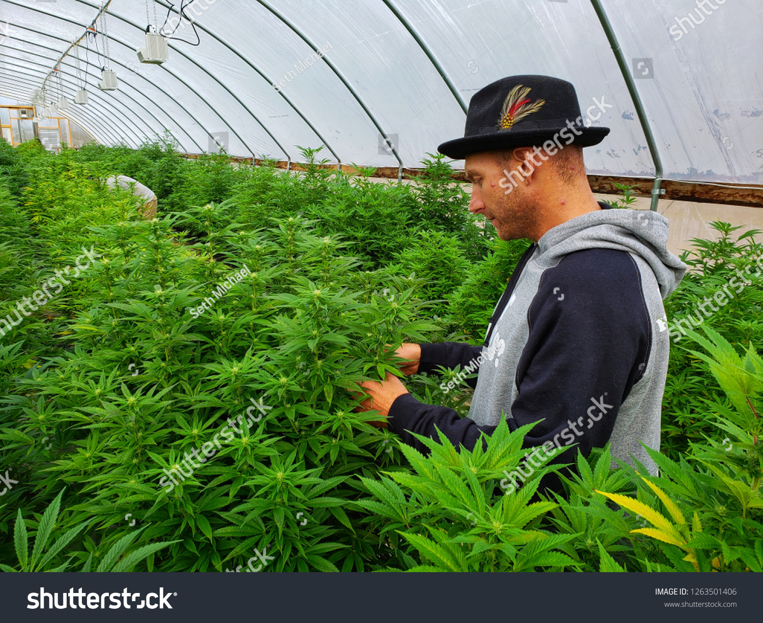 Hemp Farmer Tends His Plants Commercial Stock Photo (Edit