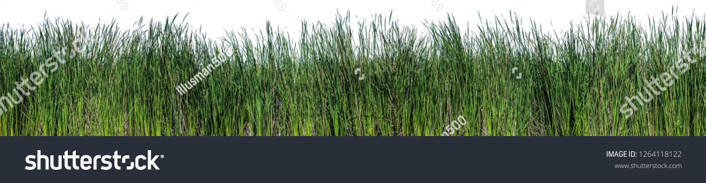 Bulrush, Cattail, Cat-tail, Elephant grass, Flag, Narrow-leaved Cat-tail, Narrowleaf cattail, Lesser reedmace, Reedmace tule , isolate on white background #1264118122