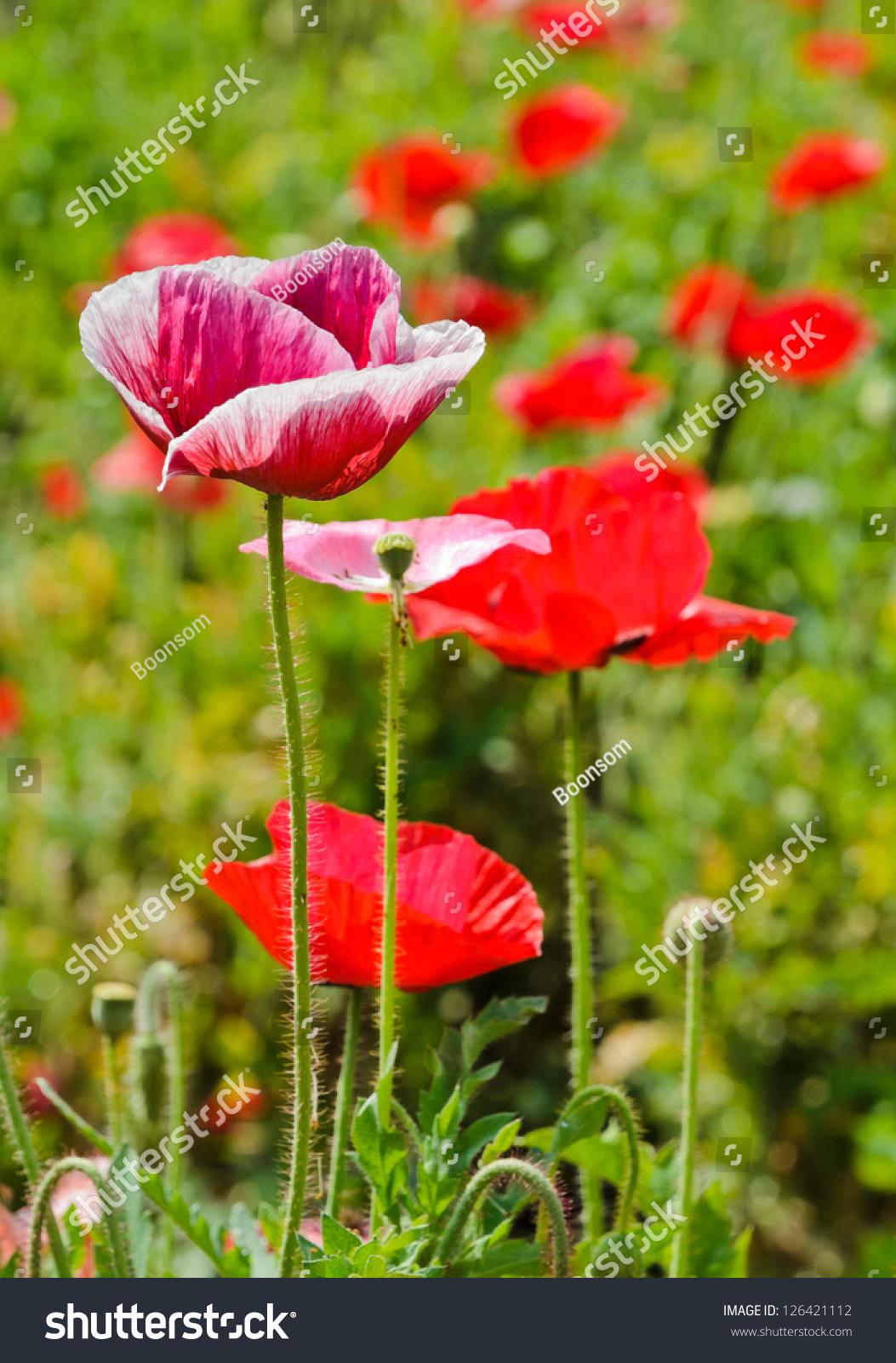 Opium Poppy Flower Field Stock Photo Royalty Free 126421112