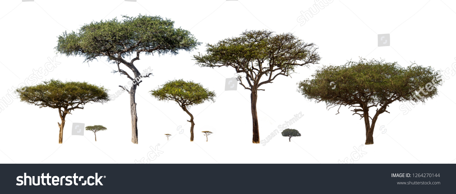 Collection of isolated African Acacia trees extracted and isolated on white background for compositing #1264270144