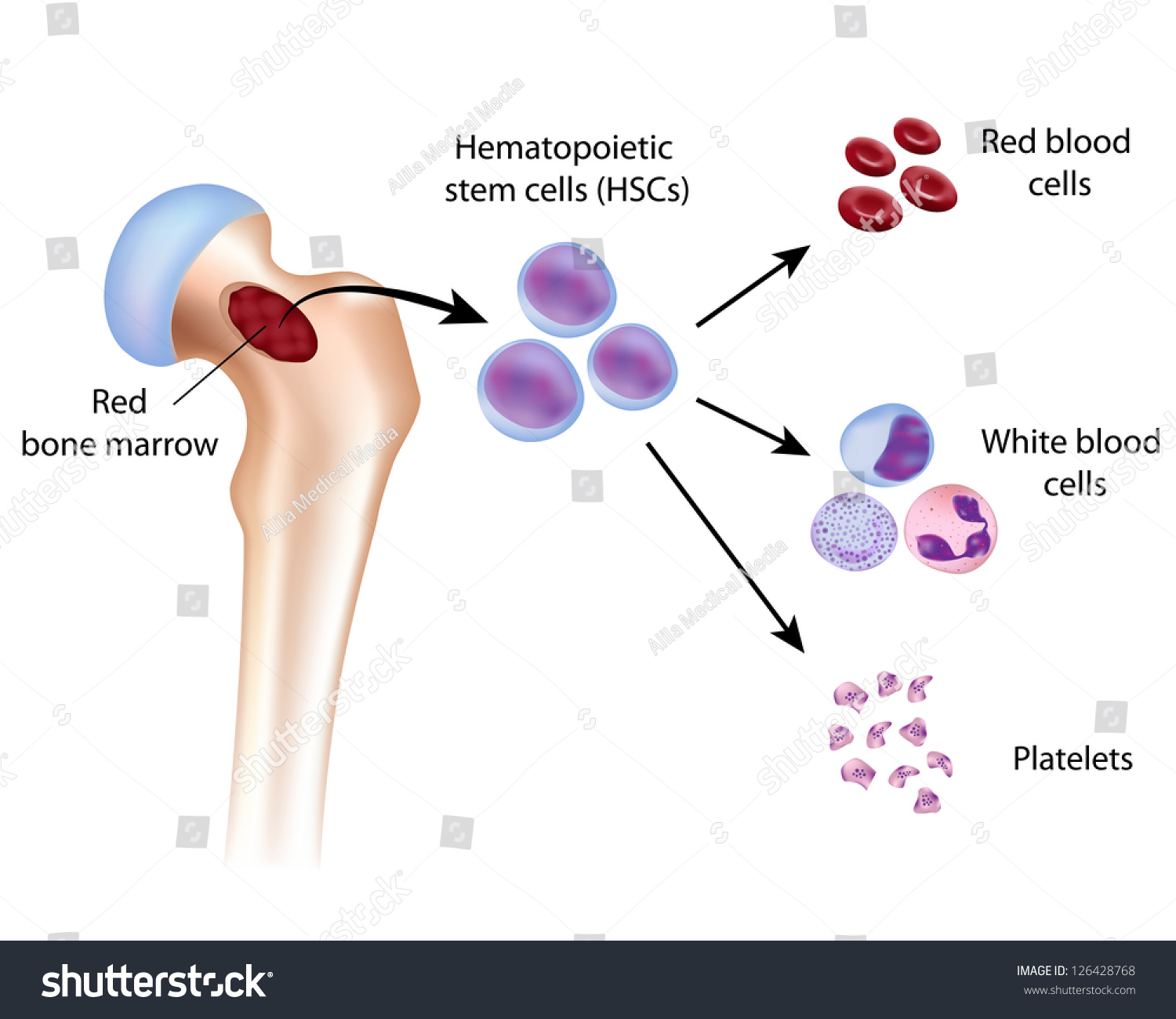 Blood cell formation red bone marrow stock illustration 126428768 blood cell formation from red bone marrow pooptronica Gallery