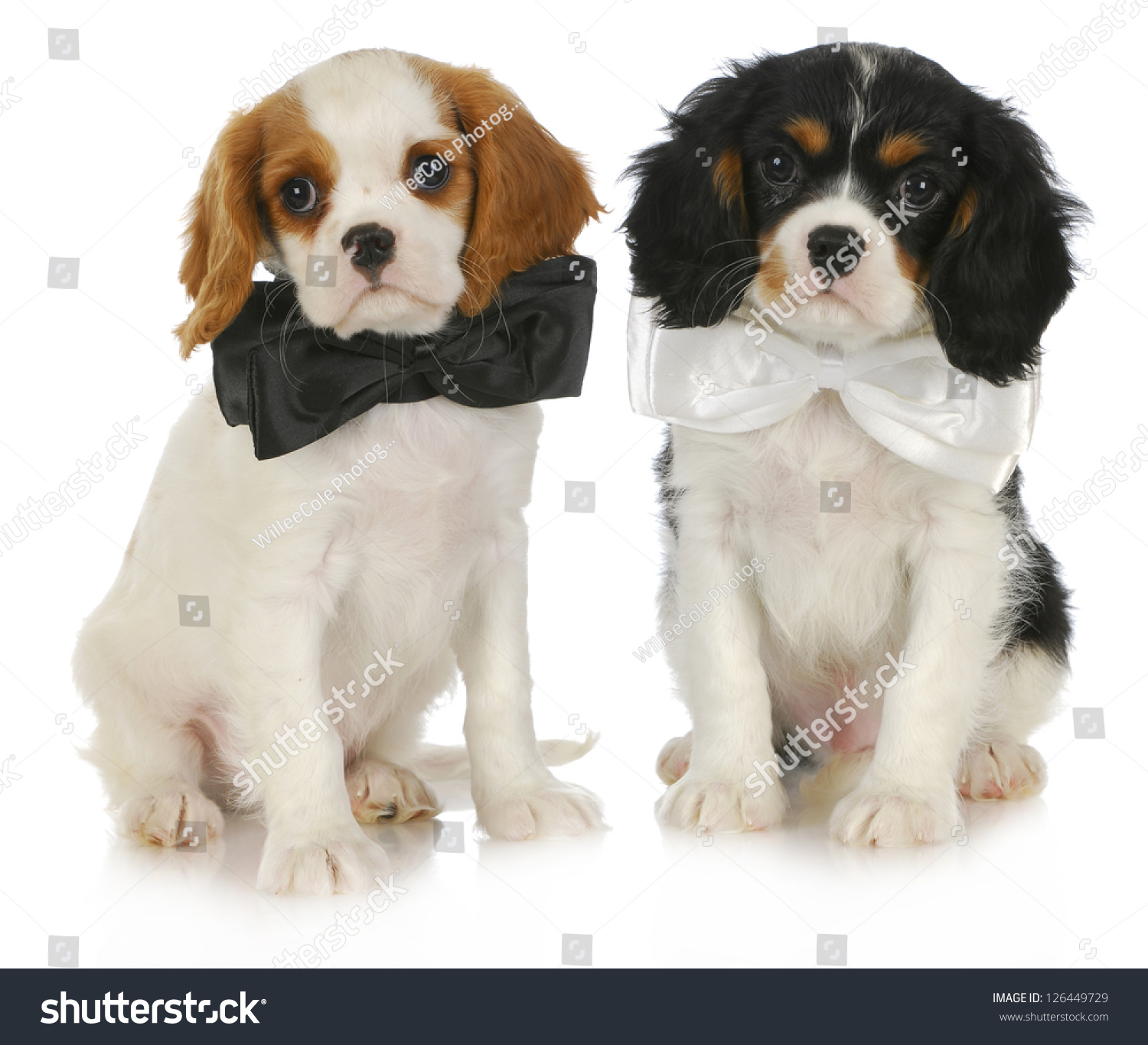 Download Charles Spaniel Brown Adorable Dog - stock-photo-two-cute-puppies-cavalier-king-charles-spaniel-puppies-wearing-bowties-sitting-on-white-background-126449729  Best Photo Reference_431462  .jpg