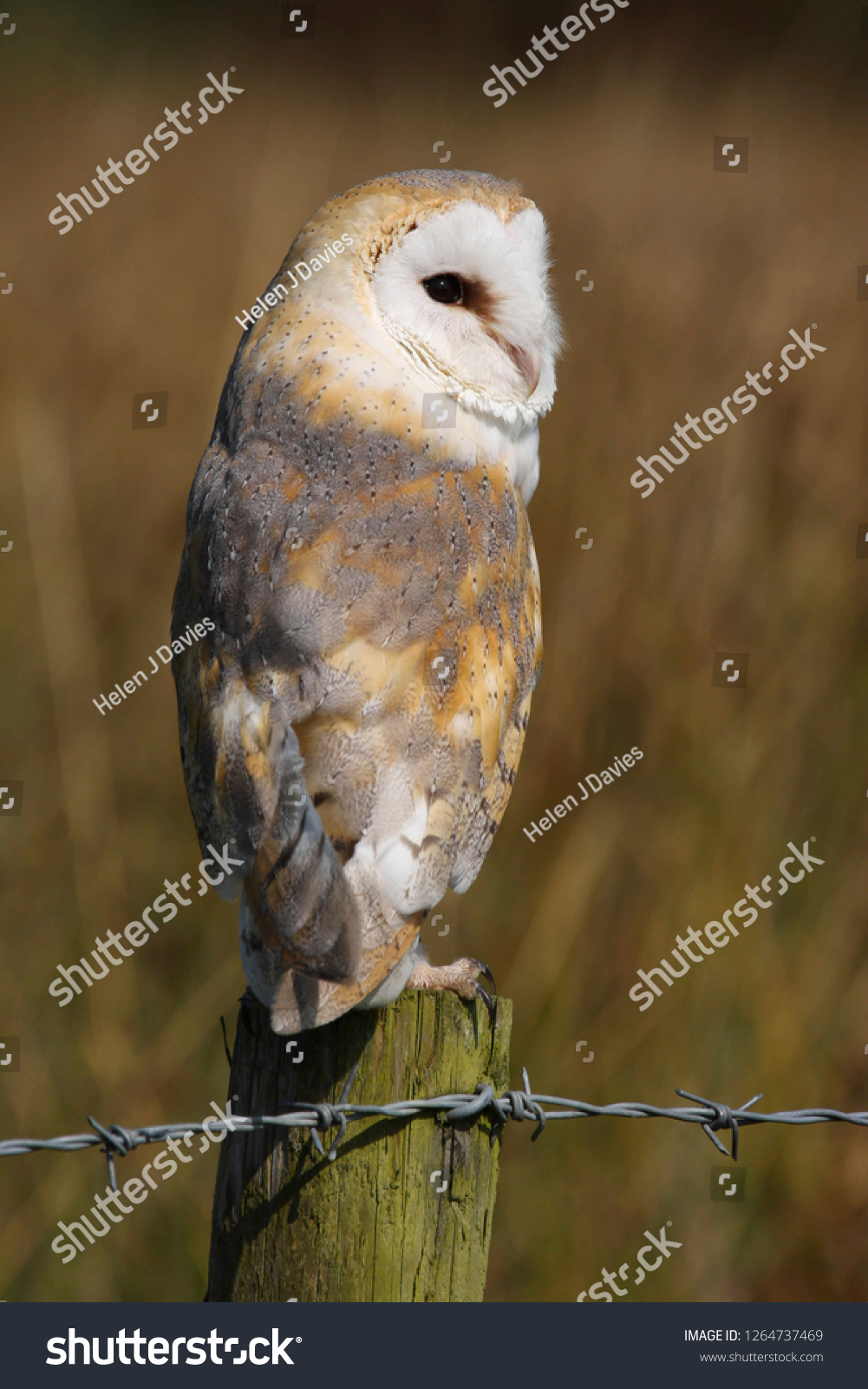Barn Owl Tyco Alba Perched On Stock Photo (Edit Now) 1264737469