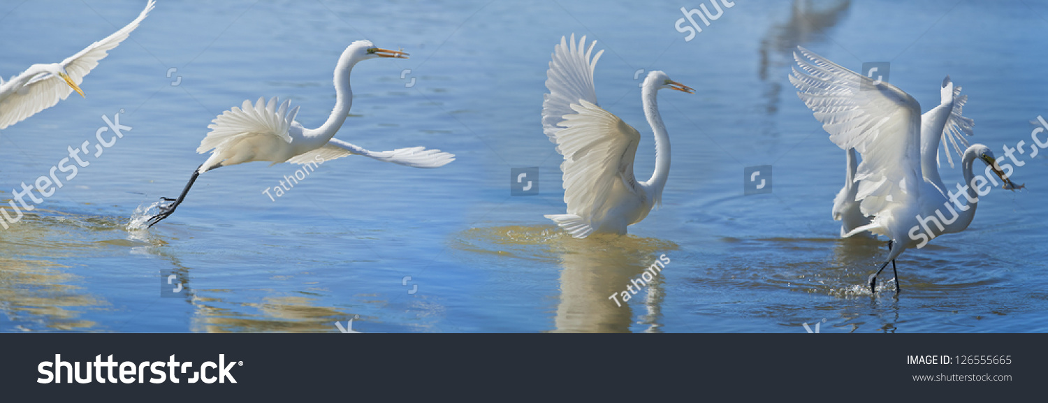 Great Egret in flight with catch. Latin anme - Ardea alba.