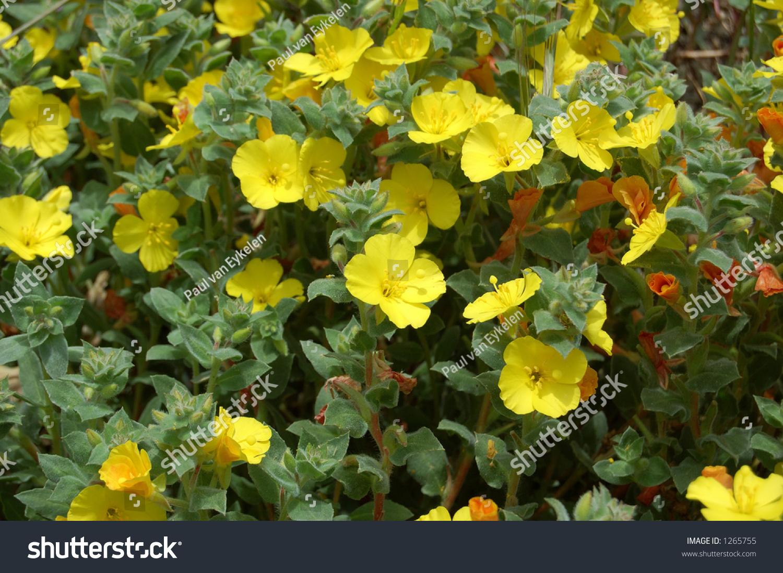 Yellow Wild Flowers California Stock Photo Royalty Free 1265755