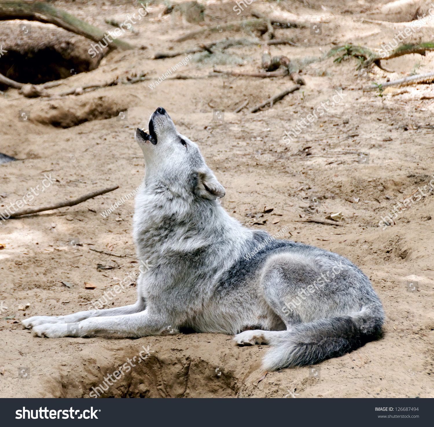Wolf lying on back - photo#15