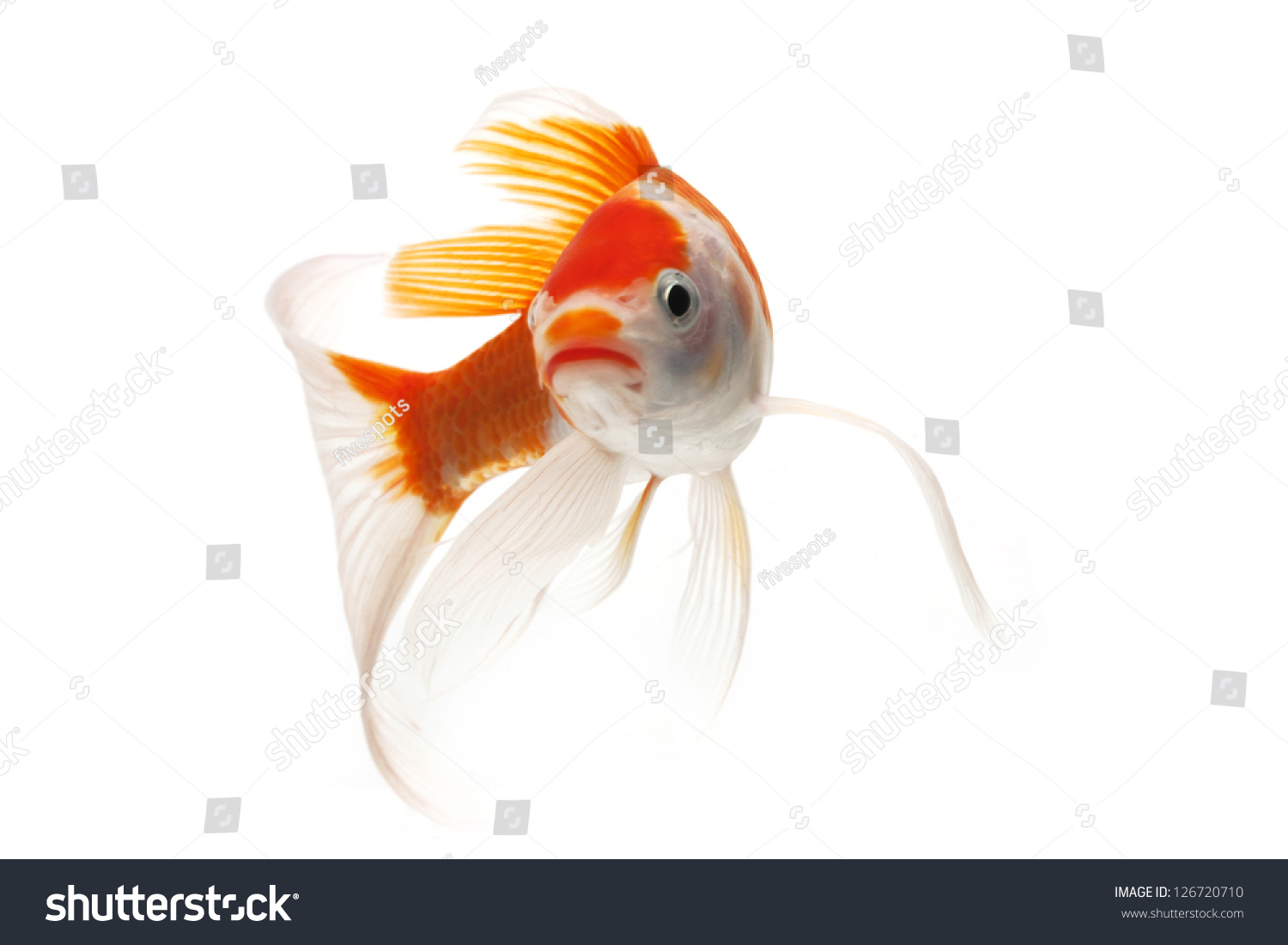 Red and white koi fish isolated on white background stock for Red and white koi fish